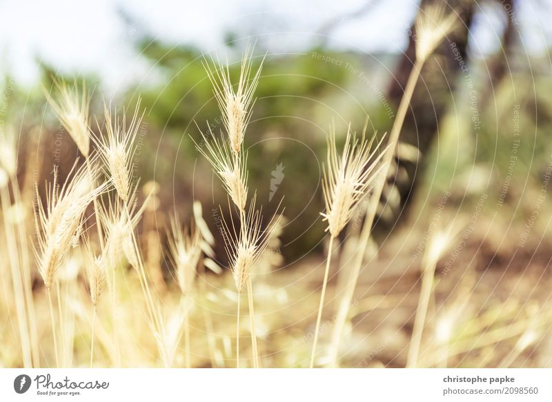 golden ears of corn Plant Agricultural crop Field Natural Wheat Grain Wild plant Gold Yellow Colour photo Exterior shot Detail Deserted Day Light