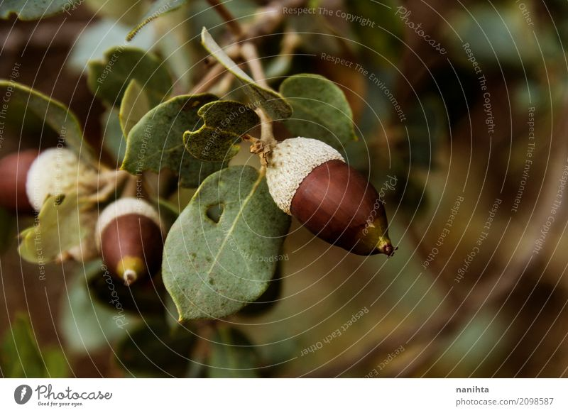 Macro of wild acorns Environment Nature Plant Autumn Tree Leaf Wild plant Acorn Forest Natural Brown Green White Senior citizen Life Blur Ilex Oak tree