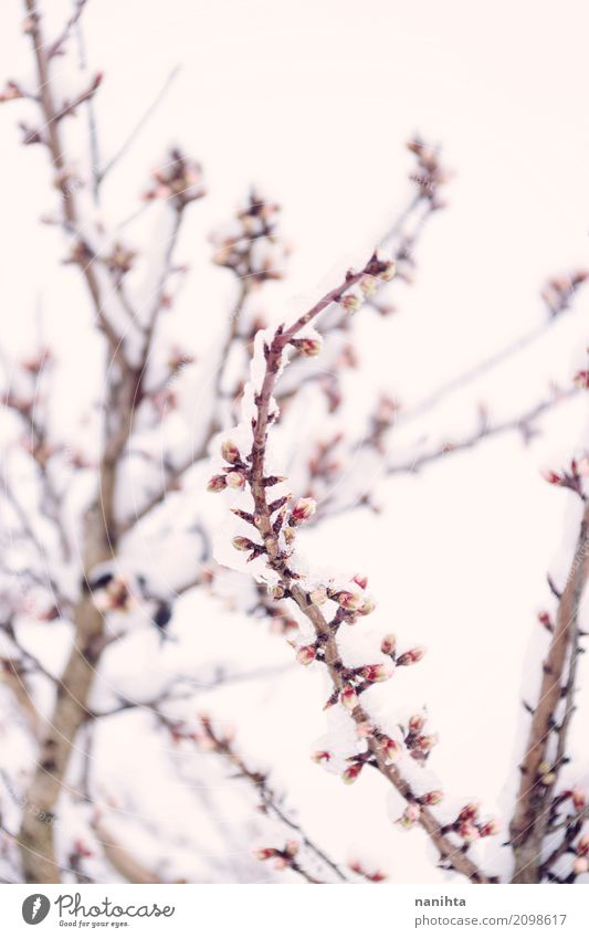 Snowy and blossoming branch Sky Nature Beautiful White Tree Flower Winter Environment Life Cold Blossom Spring Natural Snow Brown Pink