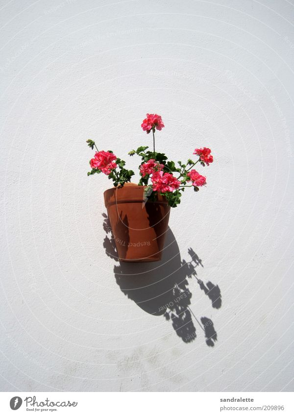 wallflower Summer Beautiful weather Plant Flower Pot plant Wall (barrier) Wall (building) Kitsch Cliche Brown Pink White Idyll Neutral Background Day Shadow