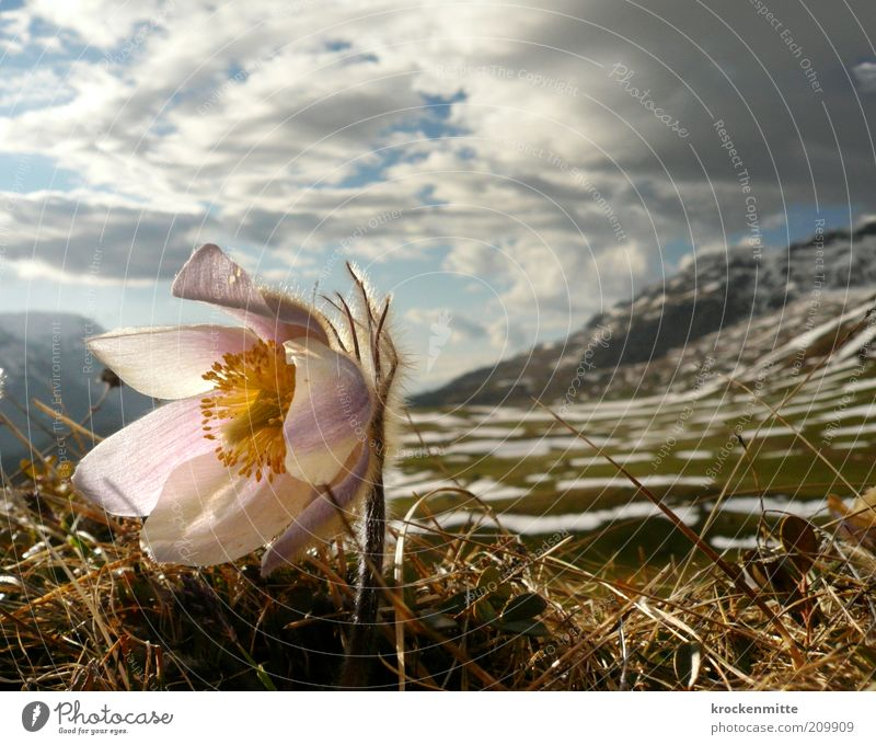 Anemone wears fur Environment Nature Landscape Plant Sky Clouds Storm clouds Spring Snow Flower Grass Rock Alps Mountain Peak Snowcapped peak Natural Yellow