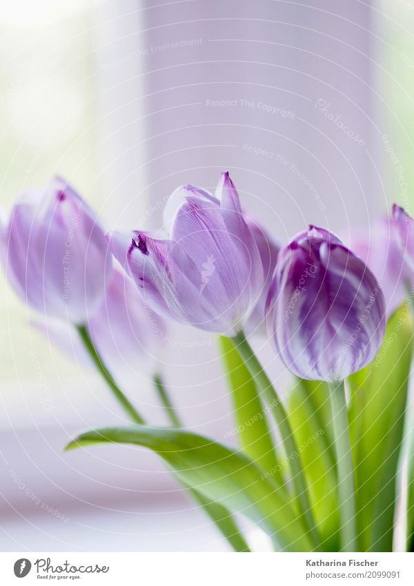 purple tulip Nature Plant Flower Tulip Leaf Blossom Blossoming Blue Green Violet White Beautiful bouquet of tulips Colour photo Interior shot Close-up Deserted