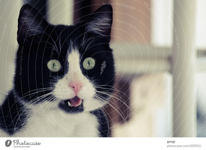 staring at Black-haired White-haired Animal Pet Cat Animal face 1 Curiosity Enthusiasm Surprise pussycat Pelt Colour photo Exterior shot Close-up