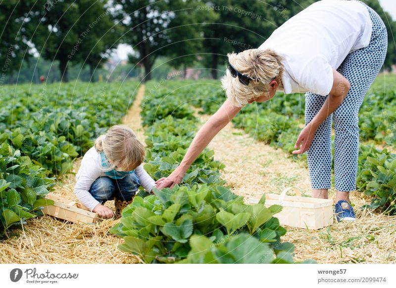In the strawberry field Human being Child Toddler Girl Female senior Woman Grandmother 2 3 - 8 years Infancy 45 - 60 years Adults Natural Blue Green White
