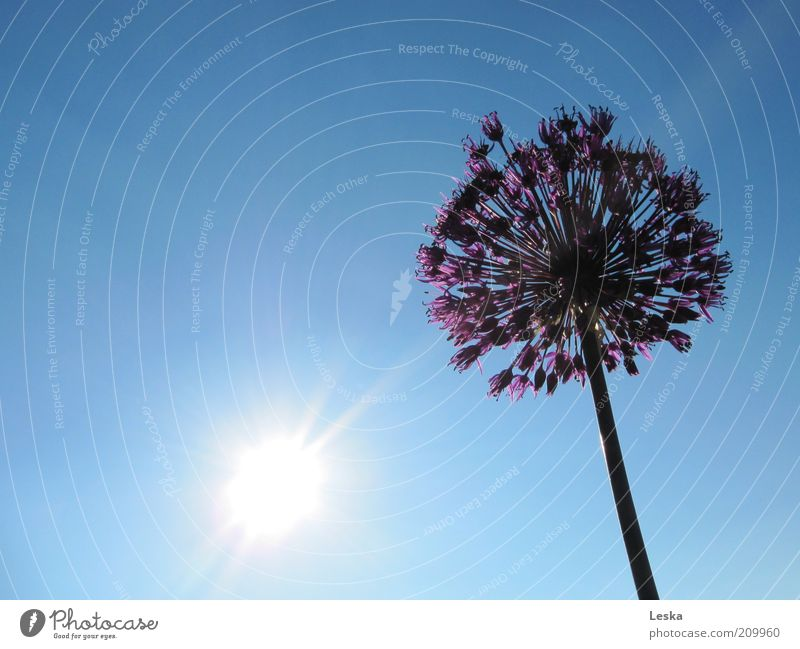 Shine on me Sky Cloudless sky Sun Sunlight Summer Plant Blossom Blue Violet Black White Flower Leek Multicoloured Exterior shot Day Sunbeam Blossoming Beautiful