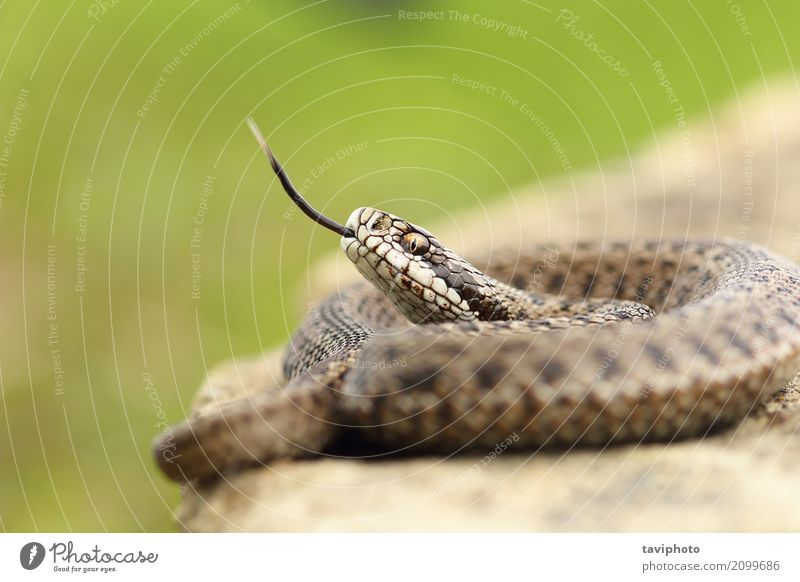 aggressive hungarian meadow viper Beautiful Youth (Young adults) Nature Animal Meadow Snake Wild Brown Fear Dangerous Colour European danger venomous poisonous