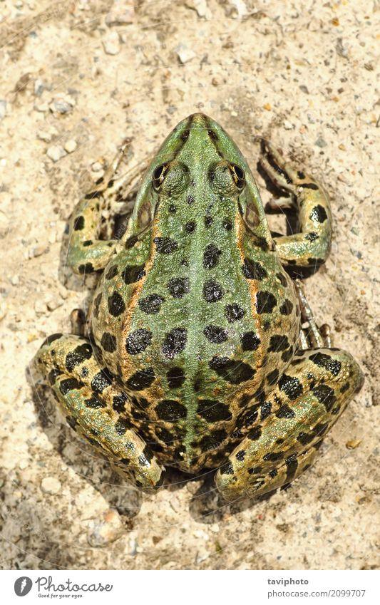 full length image of colorful marsh frog Beautiful Skin Garden Nature Animal Pond Lake Naked Natural Slimy Wild Brown Green Colour pelophylax ridibundus