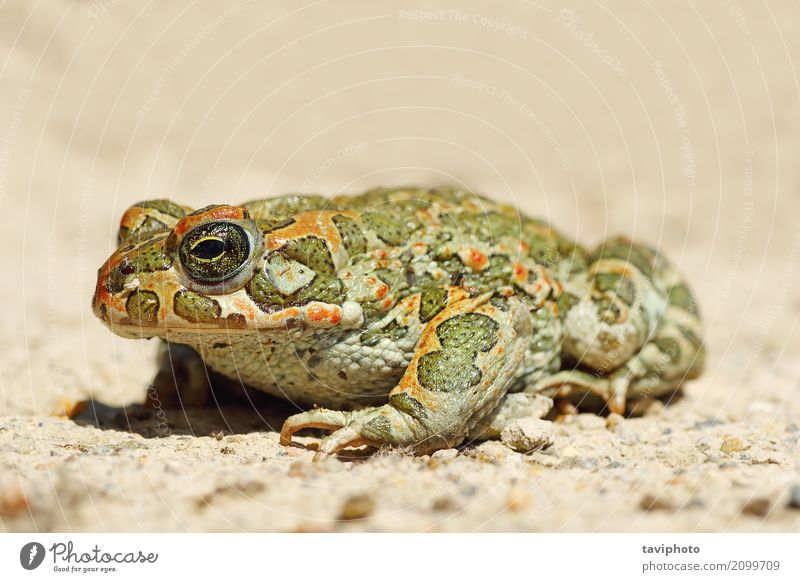 full length image of young green common toad Nature Youth (Young adults) Beautiful Green Animal Face Natural Small Garden Wild Stand Photography Cute