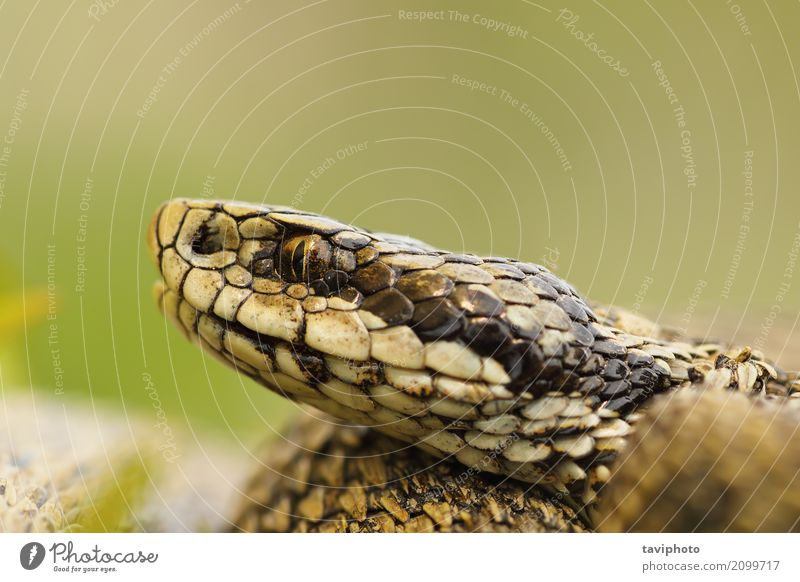 macro image of hungarian meadow viper head Nature Youth (Young adults) Colour Beautiful Animal Meadow Small Brown Wild Fear Dangerous Photography Living thing