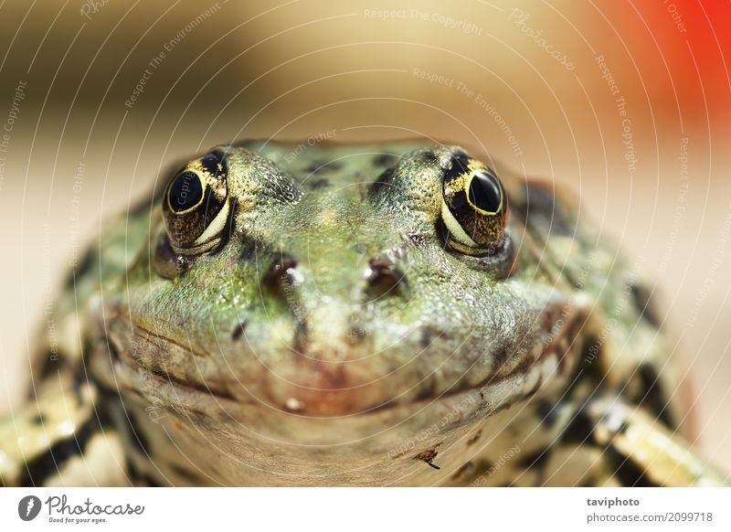 macro portrait of Pelophylax ridibundus Nature Colour Beautiful Green Animal Natural Lake Brown Wild Wet Cute Beauty Photography European Pond Wilderness Marsh