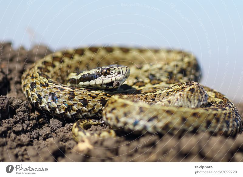 male meadow viper basking on ground Nature Beautiful Animal Meadow Brown Wild Fear Europe Dangerous Ground Living thing European Poison Reptiles Snake Biology
