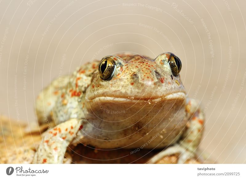 portrait of cute garlic toad Colour Beautiful Animal Face Brown Wild Cute European Slimy Garlic Spade Zoology Toad Rana