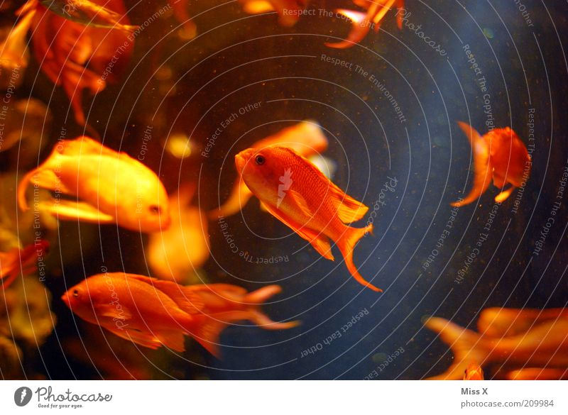 Water Animal Yellow Small Gold Fish Aquarium Goldfish Flock Coral reef