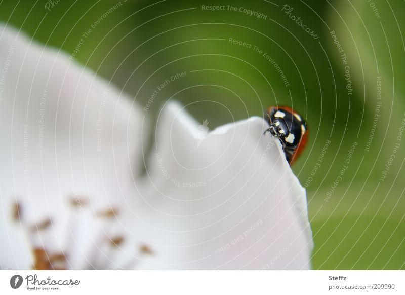 Nature Beautiful White Blossom Spring Happy Insect Animal face Blossom leave Crawl Beetle Ladybird Spring fever Flowering plant Congratulations May