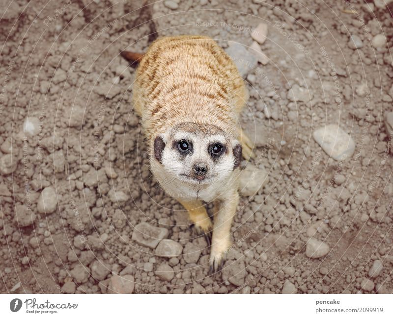 any more questions? Elements Earth Wild animal Zoo 1 Animal Observe Advice Smiling Looking Meerkat Stone Eyes Ask Colour photo Subdued colour Exterior shot