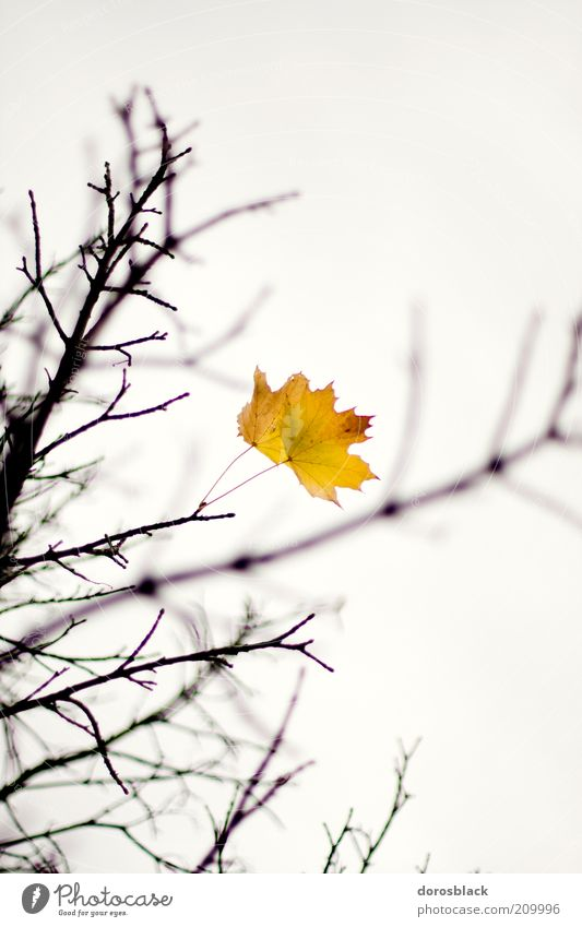 Nature Tree Leaf Yellow Cold Autumn Branch Twig Bad weather Cloudless sky