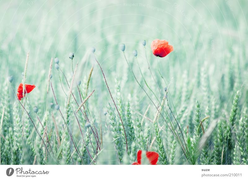 Nature Green Red Plant Summer Flower Blossom Bright Field Natural Growth Point Grain Poppy Cornfield Wheat
