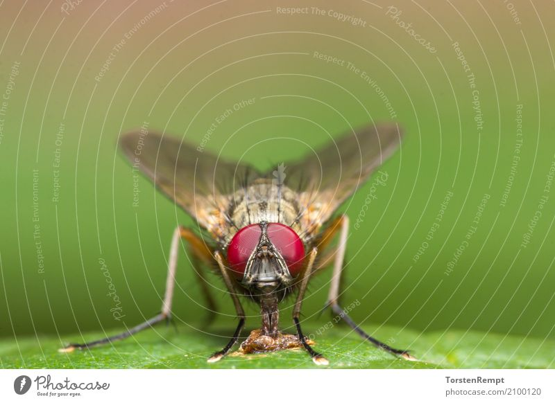 fly Nature Animal Fly 1 To feed Small Brown Yellow Green Red eyes Legs face Insect Head portrait wildlife Frontal Colour photo Exterior shot