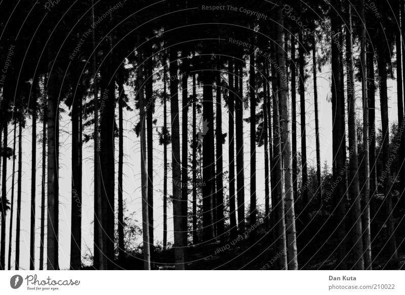 Nature Black Forest Dark Esthetic Growth Thin Hill Fir tree Tree trunk Bizarre Attachment Vertical Precision Abstract Black & white photo