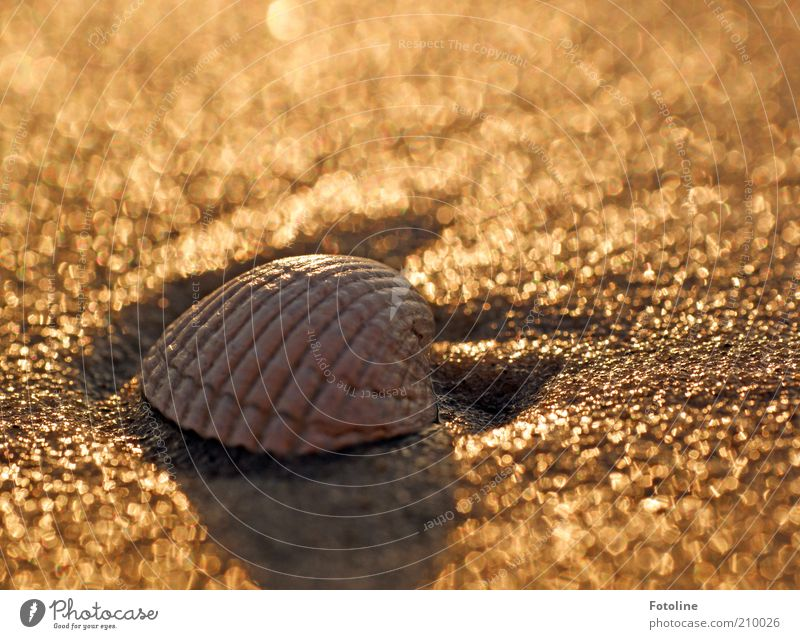 conch Environment Nature Animal Elements Earth Summer Coast Beach Baltic Sea Ocean Bright Wet Natural Brown Gold Mussel Mussel shell Cockle Colour photo