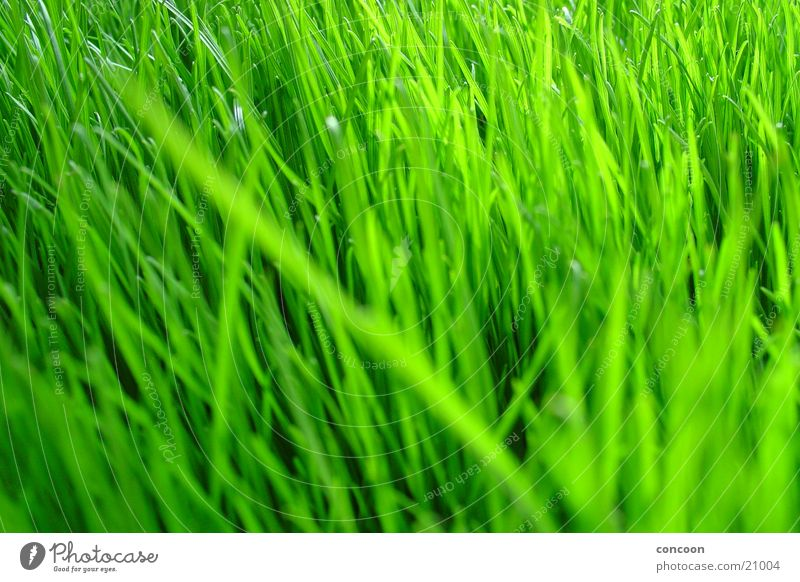 Natural Green Grass Unprocessed Plant Intensive Voluminous Spring Fresh Lawn Colour Macro (Extreme close-up) Clarity