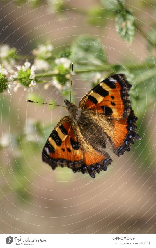 Little Fox Animal Butterfly 1 Brown Multicoloured Yellow Black Small tortoiseshell Nymphalis urticae Wing Feeler Colour photo Exterior shot Day Light