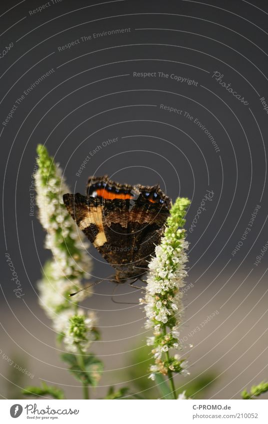 Little Fox II Butterfly 1 Animal Sit Small tortoiseshell Wing Feeler Colour photo Exterior shot Day Deep depth of field Plant Blossom Grass Copy Space top Green