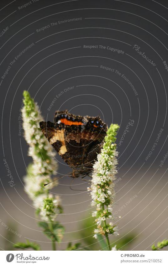White Green Plant Animal Blossom Grass Sit Wing Butterfly Feeler Small tortoiseshell