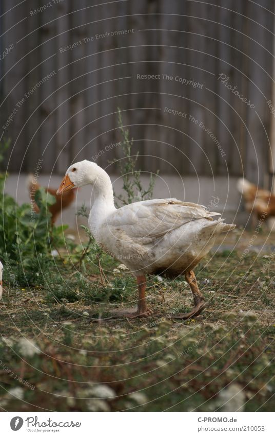...and then I'm going to go away. Animal Pet Goose 1 Walking Farm Barn Poultry farm Organic farming floor maintenance Waddle Colour photo Subdued colour