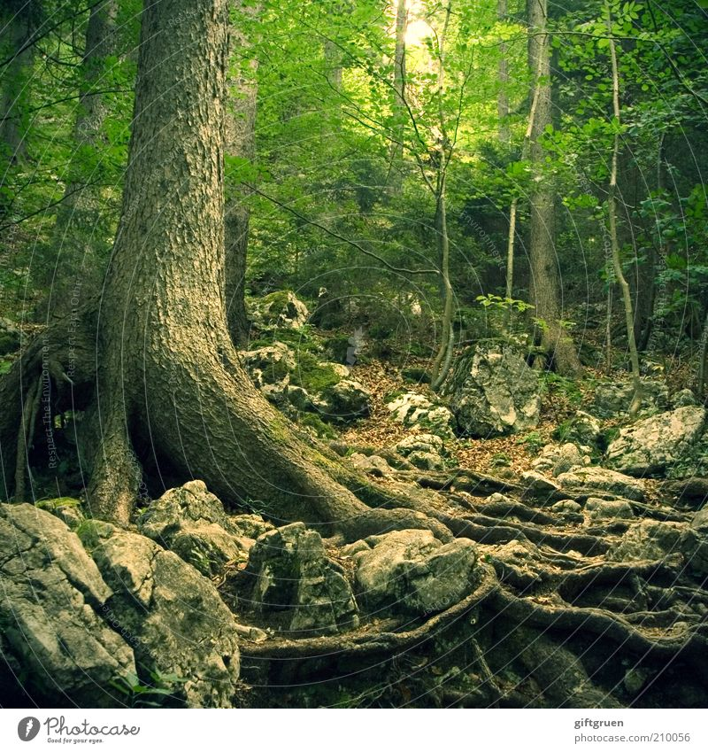 over stick and stone Environment Nature Landscape Plant Tree Forest Growth Old Creepy Green Fear Down-to-earth Root Root of a tree Stone Lanes & trails