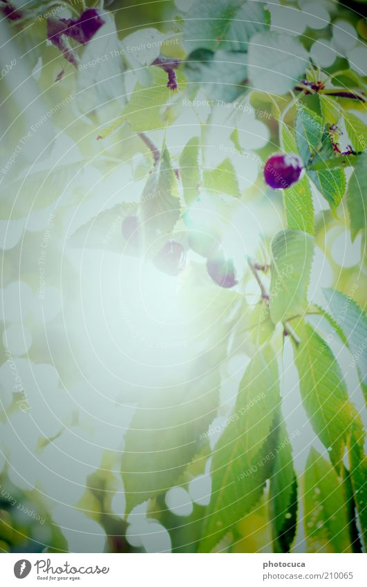 Tree Plant Leaf Blossom Garden Fruit Harvest Cherry Twigs and branches Cherry tree Wild cherry