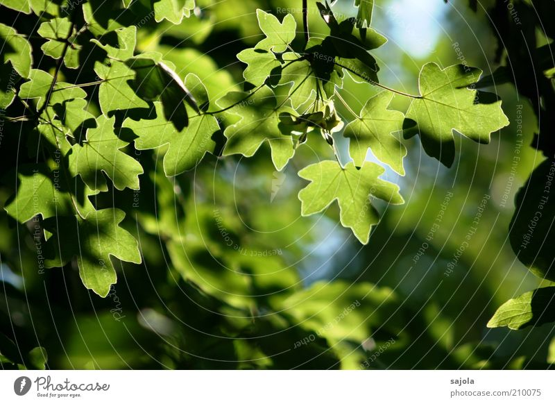 Nature Tree Green Plant Leaf Contentment Environment Esthetic Growth Illuminate Twig Maple tree Foliage plant Deciduous tree Agricultural crop Leaf green
