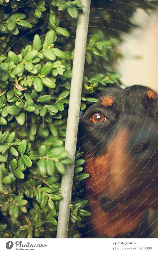 Nature Plant Animal Dog Wait Nose Bushes Animal face Observe Watchfulness Pet Rod Attentive Foliage plant Guard Watchdog