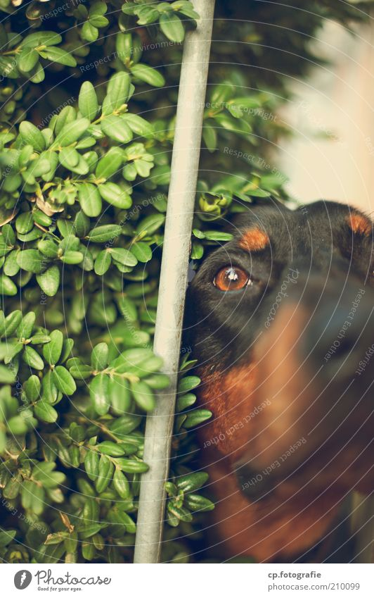 YOU'RE NOT COMING IN HERE. Nature Plant Bushes Foliage plant Animal Pet Dog 1 Rod Observe Wait Watchdog Colour photo Day Light Animal portrait Half-profile