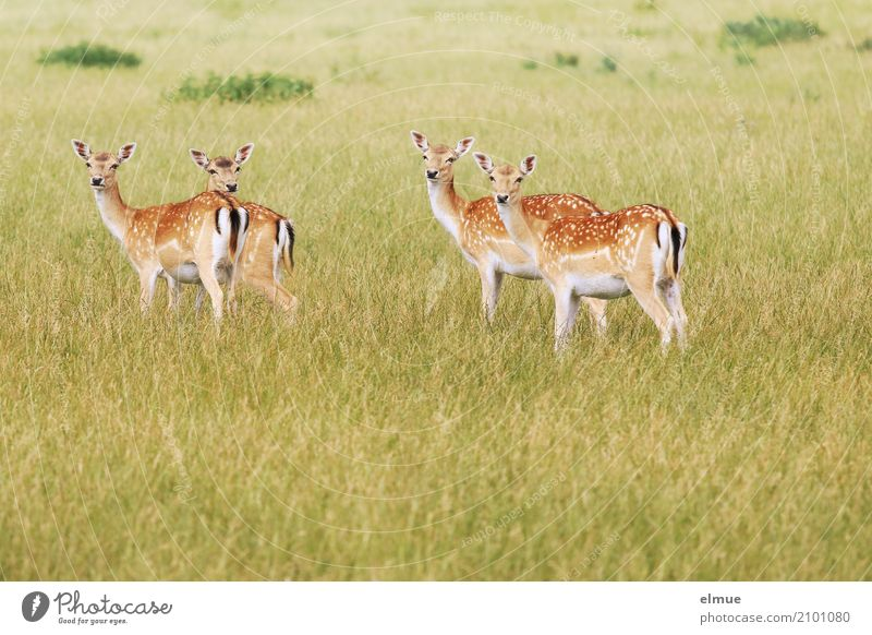 inquisitiveness Nature Animal Summer Meadow Wild animal Fallow deer Roe deer Female deer roast veal 4 Bambi Observe Listening Stand Esthetic Elegant Curiosity