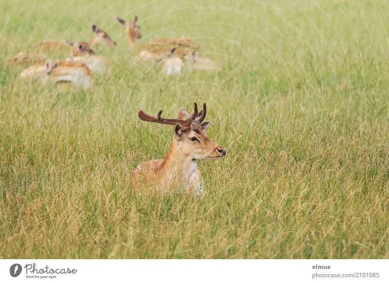 top dog Nature Animal Meadow Wild animal Fallow deer roe deer Deer Vension Animal family Antlers Group of animals Observe Relaxation Lie Elegant Contentment