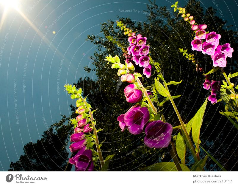 Nature Plant Summer Blossom Spring Garden Environment Esthetic Dangerous Flower Exotic Poison Shadow Foxglove Cloudless sky Wild plant