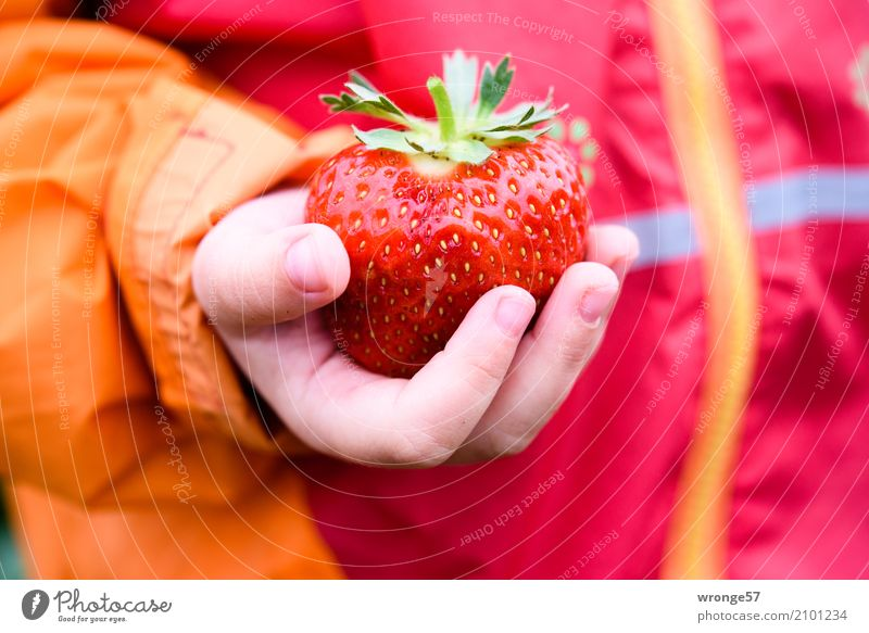 gem Child Toddler 1 Human being Summer Agricultural crop Strawberry Fresh Healthy Large Juicy Sweet Multicoloured Orange Red Fruit Fruity Hand Children`s hand