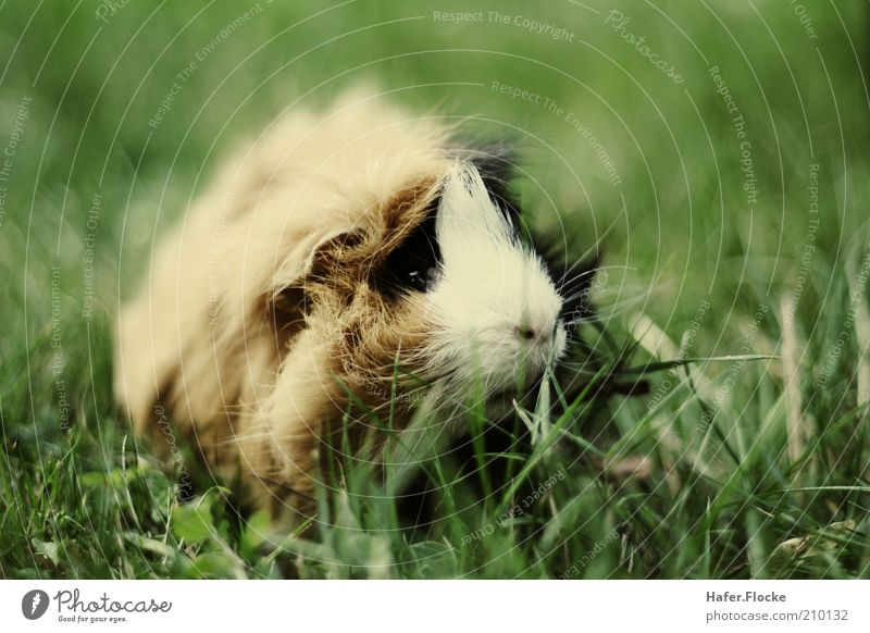 lawn mower Meadow Pet Pelt Guinea pig 1 Animal Discover To feed Sit Wait Cuddly Near Cute Exterior shot Neutral Background Contrast Blur Shallow depth of field