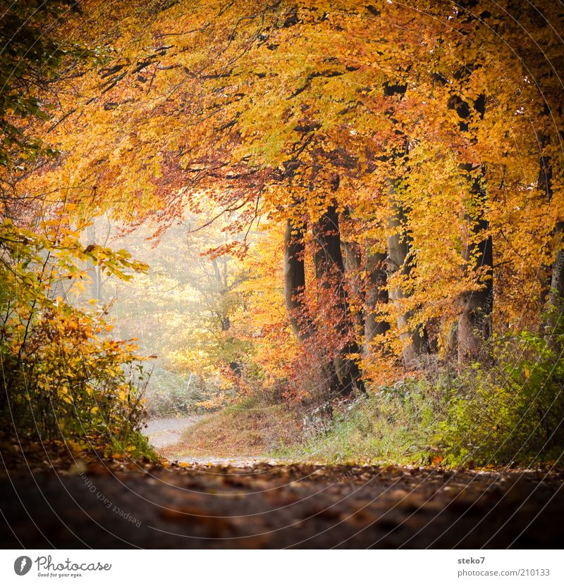 soon it will be colorful again Landscape Autumn Forest Fragrance Clean Warmth Brown Yellow Gold Lanes & trails Footpath Leaf canopy Deciduous forest