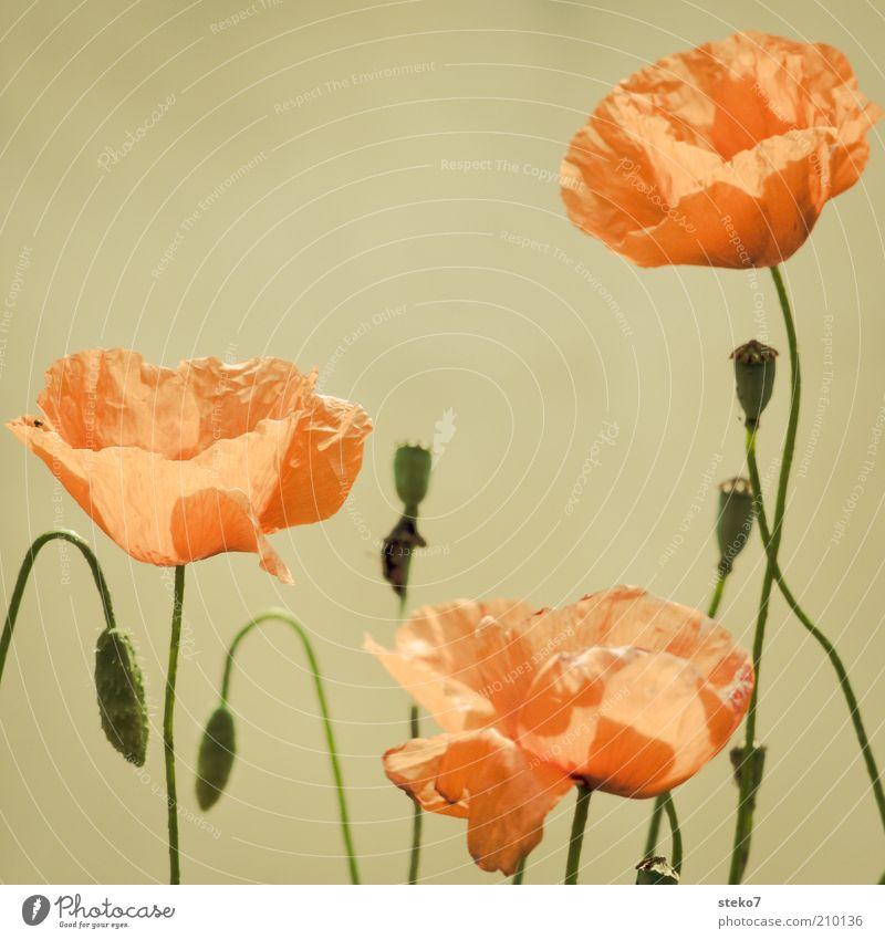Flower Green Plant Red Blossom Soft Delicate Stalk Blossoming Poppy Ease Blossom leave Poppy blossom Poppy capsule