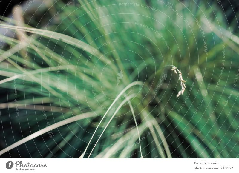 Nature Green Plant Summer Grass Environment Soft Delicate Blade of grass Foliage plant Blur Wild plant Grass blossom