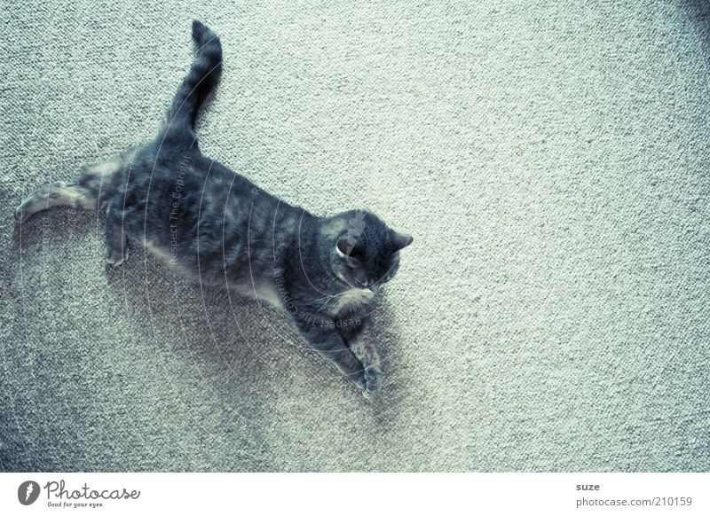 Cat Animal Relaxation Gray Small Lie Cute Observe Curiosity Serene Pet Domestic cat Cuddly Carpet Tails Outstretched