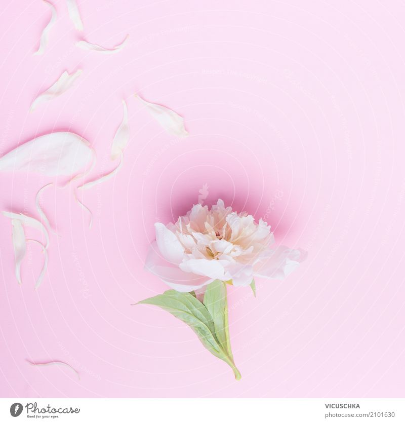 Pastel pink peony flowers and petals Lifestyle Style Design Summer Feasts & Celebrations Valentine's Day Mother's Day Wedding Birthday Nature Plant Flower Leaf