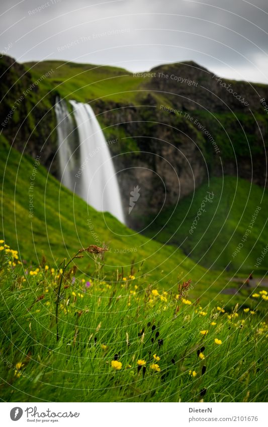 thriving Environment Landscape Plant Water Sky Clouds Summer Flower Grass Blossom Meadow Brown Yellow Green Iceland Waterfall Rock Wall of rock Colour photo