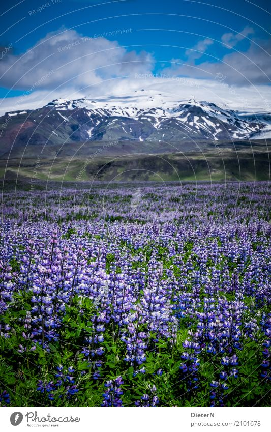 Lupine Fields Environment Landscape Plant Air Sky Clouds Summer Weather Beautiful weather Snow Flower Leaf Foliage plant Wild plant Meadow Mountain Peak