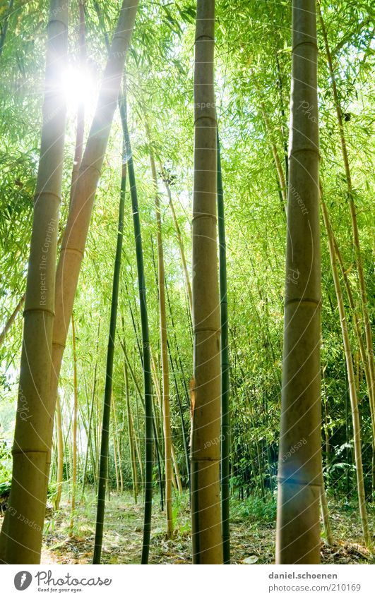 Recently in the forest Nature Sunlight Plant Green Bamboo Shadow Sunbeam Back-light Dazzle Bamboo stick Tall Forest