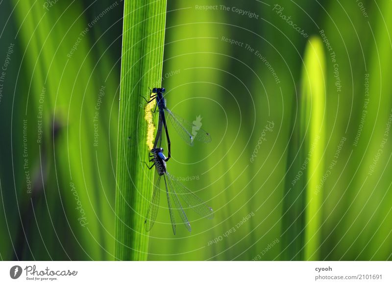Nature Blue Summer Green Animal Life Grass Illuminate Pair of animals Elegant Beginning Observe Discover Insect Common Reed Ease
