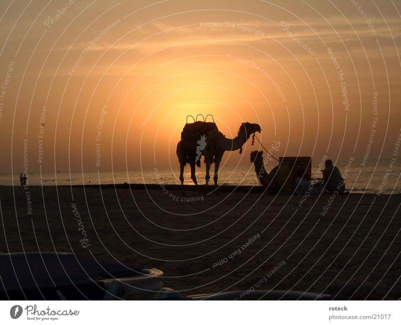 Desert meets sea Dubai Camel Water