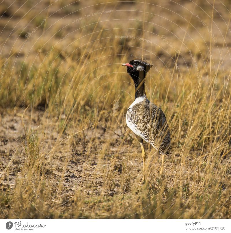 On the stalk ;-)))) Environment Nature Landscape Spring Summer Warmth Drought Grass Field Desert Namibia Africa Deserted Animal Wild animal Bird Animal face